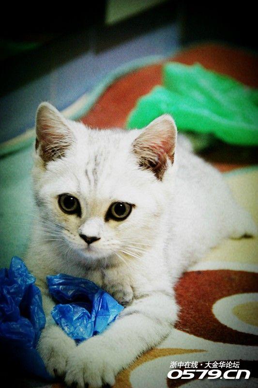 银建成猫-小名:妙妙   性别:男   籍贯:英国,出生地:杭州,目前居住地:金