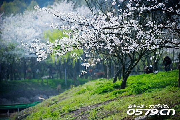 步入樱花林,走过小路木桥,沿着花树幽境,穿梭樱花雪雨,浅浅粉粉,漫天