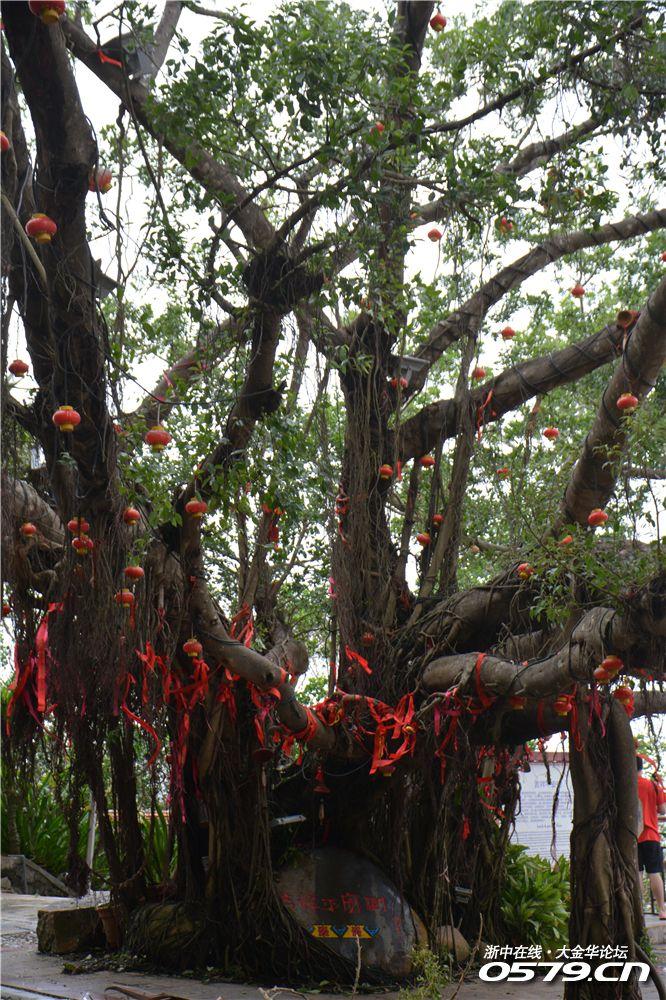 历经风雨的平安树!