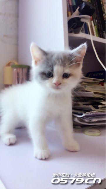 可爱小猫咪找个新宗,价不高.七夕特价